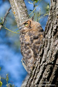 Almost Grown - Great Horned Owl by Stephen Stephen on 500px