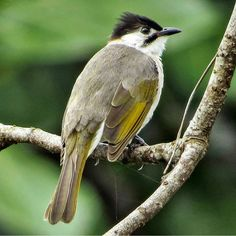 Styan's Bulbul or Taiwan Bulbul (Pycnonotus taivanus)- endemic to eastern and southern Taiwan. | Photo by @thebirdingsquad.