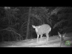 Trail Cam: Turkeys, Fox, Deer, and Bear