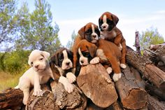 I can not wait to own one of you!! (Boxer puppies) ♥