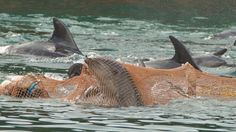 The Taiji Dolphin Slaughter Is Back and As Brutal As Ever