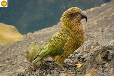 https://www.facebook.com/WonderBirds-171150349611448/ Vẹt Kea; Họ Vẹt Tân Tây Lan-Nestoridae; loài đặc hữu Nam Đảo, New Zealand || Kea (Nestor notabilis) IUCN Red List of Threatened Species 3.1 : Vulnerable (VU)(Loài sắp nguy cấp)