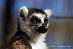 The Ring-tailed lemur - Lemur catta - is one of 101 recognized species and subspecies of lemur found only in Madagascar © www.myplanetexperience.com