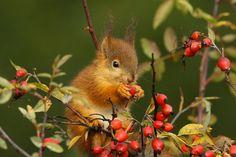 Eurasian Red Squirrel photo by Esa Ström