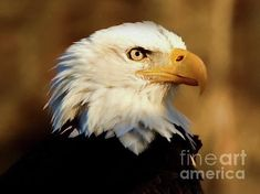 Bald Eagle, Fine Art America, It Works, Digital Art, Instagram Images, Portrait, Artist, Artwork, Animals