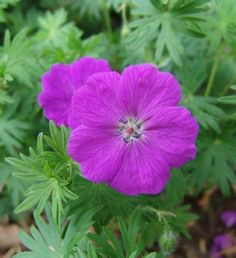 Geranium 'Dilys' Cranesbill This is an easy, carefree geranium; a strong grower with a sprawling habit which makes for an excellent groundcover that alway seems to be in bloom, last year ours was still blooming in November! The finely cut foliage is accented by reddish-purple flowers with deep purple eyes and veins which bloom from early summer to frost.  G. sanguineum x procurrens.