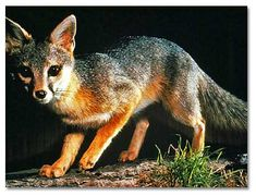 http://www.desertusa.com/animals/gray-fox.html Urocyon cinereoargenteus The Gray Fox is the only member of the dog family that can climb trees, usually to seek refuge or in search of roosting birds. It can reach a speed of 28 mph for short distances and has lived for up to 10 years in captivity; longevity in the wild is probably much shorter.  The Gray Fox is smaller in size than the Coyote -- usually 32 to 45 inches long, and weighs 7 to 11 pounds.