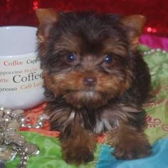 43 Best Chocolate Yorkies images in 2018   Yorkie puppy