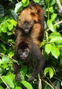 A mother and baby howler monkey at Cuero y Salado Nature Reserve. This Reserve of mangrove forest where the river Cuero meets the sea is a haven for wildlife but its survival depends on the river which in turn depends on the rainforest upstream. Hence, our work is vital not just for the rainforest itself, but for other habitats too and the biodiversity they support.  (© James Adams)