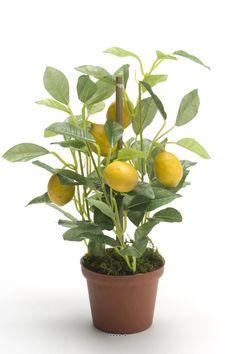 ASTUCE: Voici comment faire pousser un citronnier à la maison avec des graines.