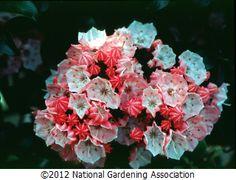 Mountain Laurel Little Linda NGA Plant Finder :: National Gardening Association