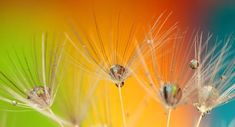 Free Photo: Dandelion, Colours, Colour, Green - Free Image on Pixabay - 199271