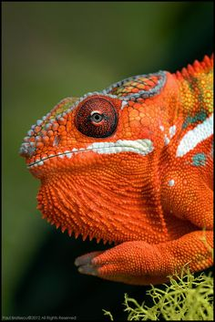The Chameleon.  Macro photography by Paul Bratescu.