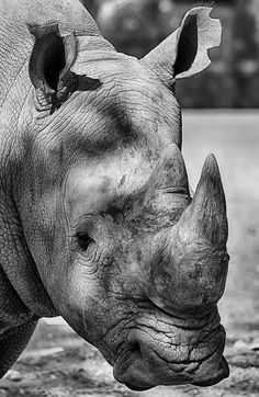 flowerling: White Rhinoceros Portrait - Al Ain Zoo. UAE by dmjames58