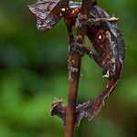 The Satanic leaf-tailed gecko (Uroplatus phantasticus) is an excelent mimic of dry leaves and twigs. It can easily change to color thanks to...