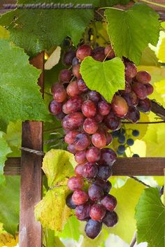 Stock Photo titled: Bunch Of Red Grapes Hanging From A Grape Vine