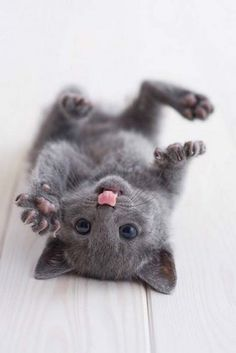 Russian Blue Kitten! LOL