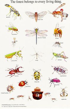 Smokey's Insect Identification. Graphic of North American insects.Use with Apologia Zoology 1, Flying Creatures #homeschool http://bit.ly/ApologiaZoo1