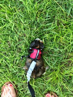 Guinea pig on leash youtube guinea pig on leash pinterest publicscrutiny Image collections