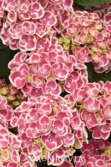 Buttons 'n Bows Hydrangea