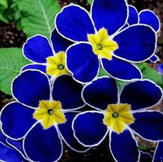 Flower Garden Polyanthus primrose - these are gorgeous! - 43 Beautiful and Seldom Seen Flowers! UPDATED with more exotic flowers! The most unusual assortment of stunning flowers you will ever see. Unusual Flowers, Rare Flowers, Amazing Flowers, Pretty Flowers, Yellow Flowers, Types Of Blue Flowers, Flowers Bunch, Purple Wildflowers, Lilies Flowers