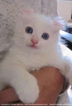 American Curl -  #cute #fluffy #CAT #KITTY #cats #kitten #kitties