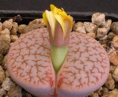 """Lithops pseudotruncatella ssp. dendritica """"farinosa"""" C245"""