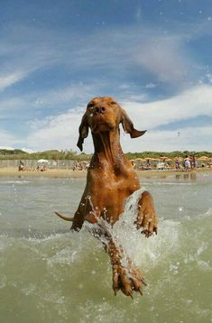 Vizsla Puppies, Dogs And Puppies, Vizsla Dog, Beautiful Dog Breeds, Beautiful Dogs, Cute Dog Pictures, Dog Photos, Silly Dogs, Funny Dogs