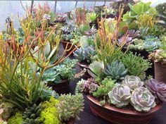 Nanoose Bay Succulents #gardening #succulents