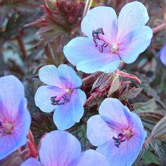 Geranium pratense 'Midnight Blue'