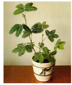 Sensitive Plant - Mimosa pudica - It has a curious way of deterring would-be predators: when the leaves are touched they curl up to reveal spiky thorns—enough to scare off any passing animal that might take a liking to the juicy leaves #houseplant