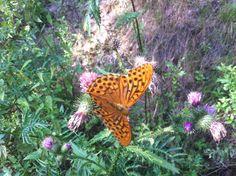 Polish butterfly.