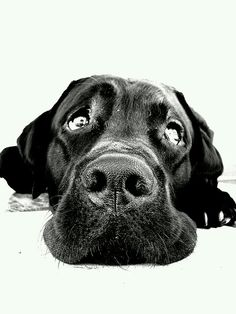 The beautiful black lab I sketched