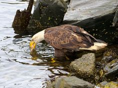 Photo at Prince Rupert, Canada. Shot taken with 5 shares and 17 likes. Bald Eagles, Lunch, River, Eat Lunch, Lunches, Rivers