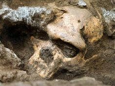 Beautiful Skull Spurs Debate on Human History A 1.8-million-year-old skull blends features of a number of early human species.