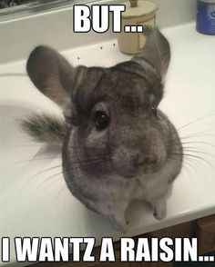 I love my raisins. Also, this isn't me. I'm gonna have a theme started so I needed to post a thing. #memes#cute#cutie#meme#chinchilla#chinchillas#pets#pet#animals#animal#photographer#photography#kawaii