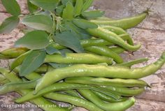 Raccolto di fave