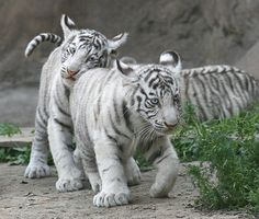Baby Tiger Cubs | ... of two cute white tiger cubs with blue eyes white baby tiger siblings #tigers #cutetigers
