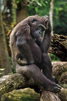 Funny Wildlife — The Gorilla, The Thinker #VisitUganda to see these...