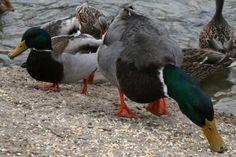 If you want to feed ducks or geese at a local pond, offer these nutritious treats instead of unhealthy bread.