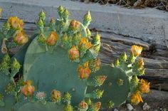 Prickly pear cactus offers health benefits.