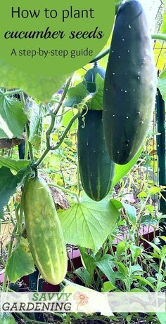 Cucumbers are one of the easiest vegetables to grow from seed. Learn how to plant cucumber seeds in this step-by-step guide. #growingrosesfromseeds