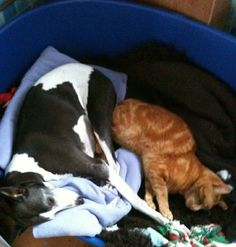 love seeing Whippets 'n cats being best friends