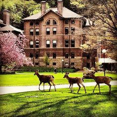 western washington university - deer on campus! They also said they sometimes get cougars on campus. Bellingham Washington, Oregon Washington, Western Washington University, Western College, Great Places, Places To Visit, Evergreen State, College Campus, Travel