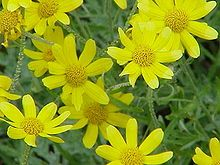 Common woolly sunflower
