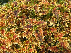 Under the Sea Coleus