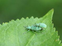 http://faaxaal.forumgratuit.ca/t3390-global-photo-de-coleoptere-coleopteres-de-france-french-beetles-beetles-of-europe-insectes#7483  Photos gratuites et libres de droits de coléoptères Photos de coléoptères dans le Domaine Public