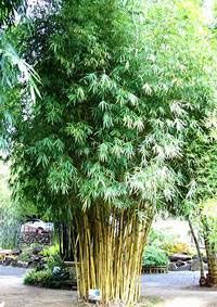 Bambusa Guangxiensis Chinese Dwarf Bamboo In 2020 Fast Growing