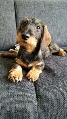 Dachshund Products, Apparel and Gifts Dachshund Funny, Dachshund Puppies, Dachshund Love, Cute Puppies, Dogs And Puppies, Cute Dogs, Daschund, Terriers, Weenie Dogs