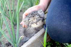 Sep 2019 - Scientists challenge nature by adopting an endangered orphan kitten, aiming torelease her into the wild. Cute Cats And Kittens, Cool Cats, Kittens Cutest, Animals And Pets, Baby Animals, Cute Animals, Felis Manul, Kitten Eyes, Pallas's Cat